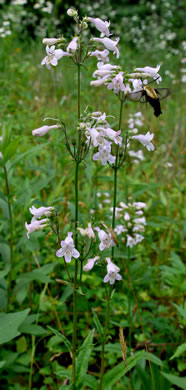 image of Penstemon australis, Downy Beardtongue, Sandhill Beardtongue, Southern Beardtongue, Southeastern Beardtongue