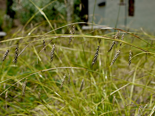 image of Carex cherokeensis, Cherokee Sedge