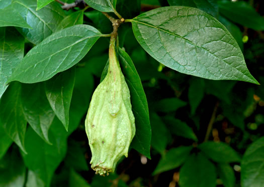 image of Calycanthus floridus, Sweetshrub, Carolina Allspice, Strawberry-shrub, Sweet Bubby-bush
