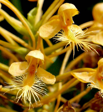 sepals or bracts of Platanthera ciliaris, Yellow Fringed Orchid