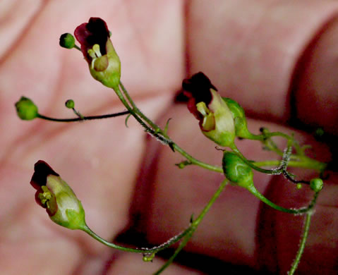 flower of Scrophularia marilandica, Eastern Figwort, Carpenter's Square