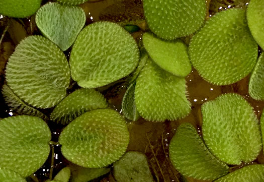 Salvinia minima, Water Spangles, Floating Fern