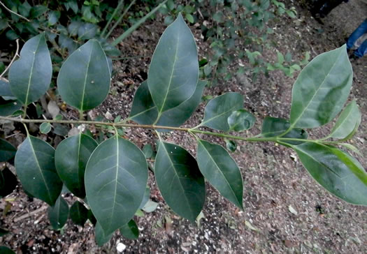 image of Ligustrum lucidum, Glossy Privet, Broadleaf Privet