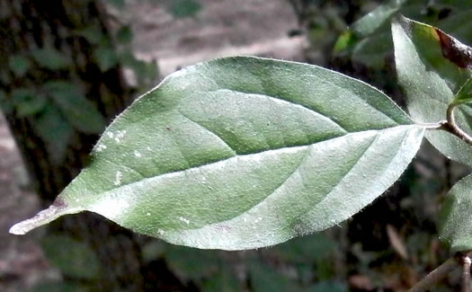 leaf or frond of Swida asperifolia, Eastern Roughleaf Dogwood