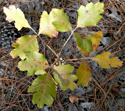 image of Toxicodendron pubescens, Poison Oak