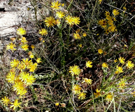 image of Chrysopsis gossypina, Woolly Golden-aster, Cottonleaf Golden-aster, Gossamer Golden-aster