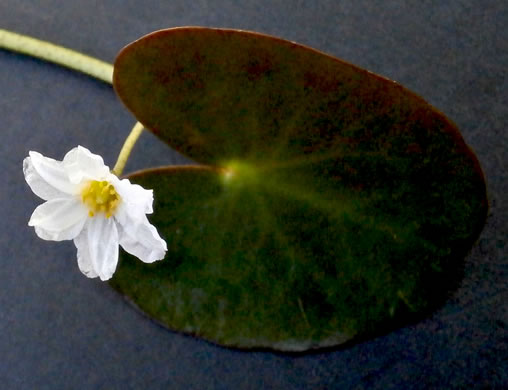 image of Nymphoides cordata, Little Floating Heart