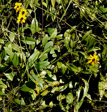 image of Coreopsis gladiata, Swamp Coreopsis, Swamp Tickseed