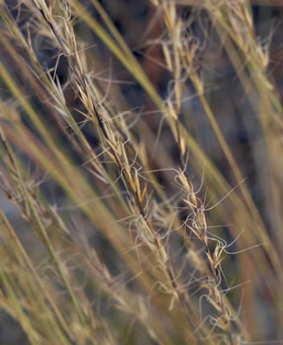 image of Aristida stricta, Carolina Wiregrass, Pineland Three-awn