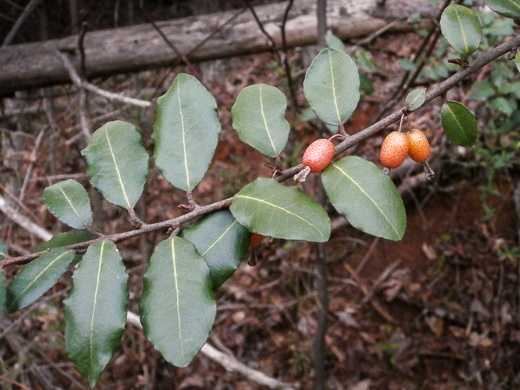 image of Elaeagnus pungens, Thorny Olive, Autumn Siverberry, Silverthorn, Thorny Elaeagnus