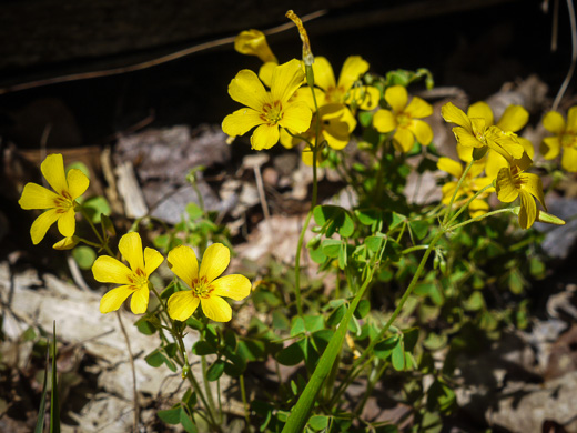 image of Oxalis colorea, Small's wood-sorrel, Tufted Yellow Wood-sorrel, (NOT Sadie Price's Yellow Wood-sorrel)