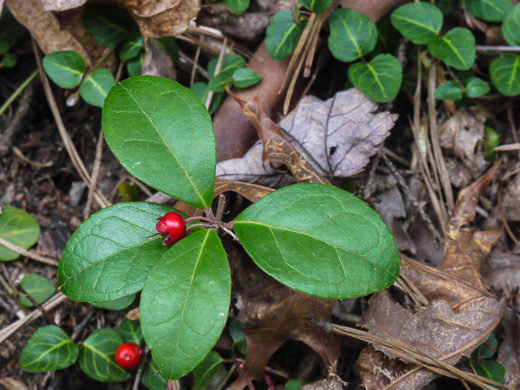 image of Gaultheria procumbens, Wintergreen, Teaberry