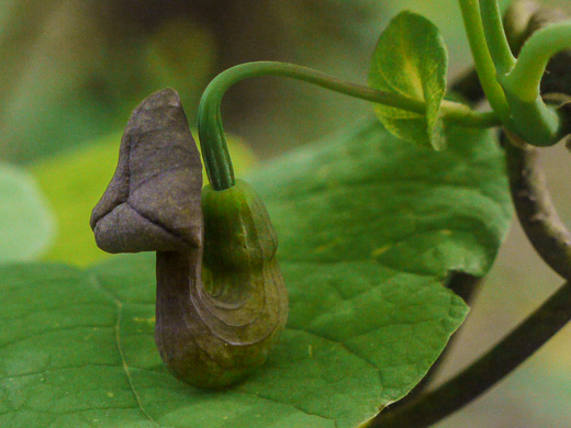 image of Isotrema macrophyllum, Dutchman's Pipe, Pipevine