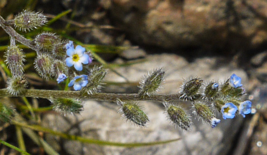 flower of Myosotis stricta, Blue Scorpion-grass