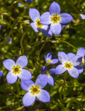 image of Houstonia caerulea, Quaker Ladies, Common Bluet, Innocence