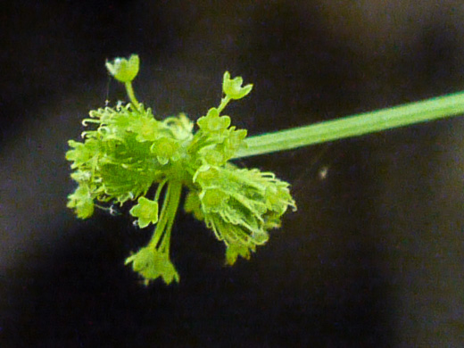 fruit of Galium, Geum and Sanicula species: Sanicula odorata, Sanicula odorata, Sanicula gregaria