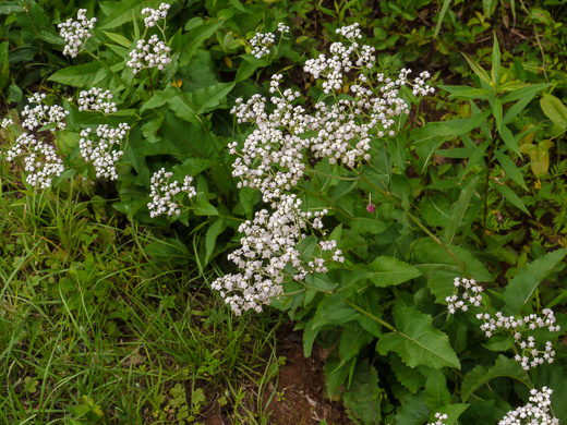 image of Parthenium integrifolium var. integrifolium, Common Wild Quinine