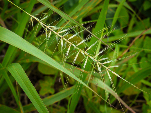rachis: Elymus hystrix var. hystrix, Common Bottlebrush Grass, Eastern Bottlebrush-grass