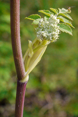 image of Angelica venenosa, Hairy Angelica, Downy Angelica, Deadly Angelica