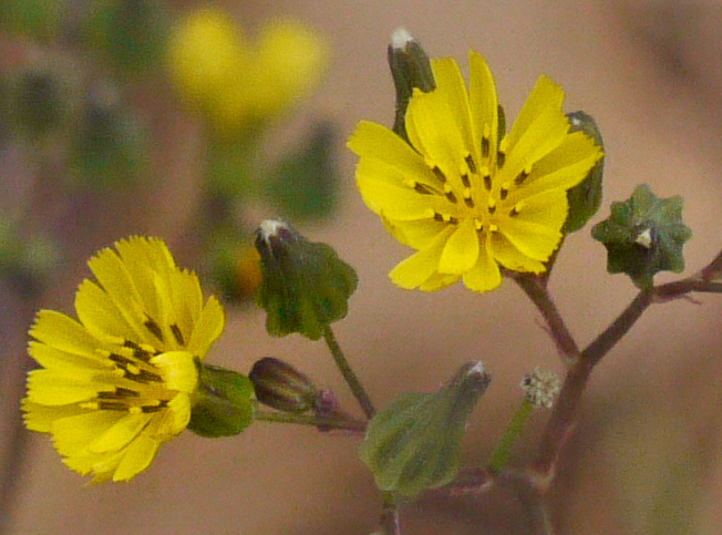 flower of Youngia japonica, Asiatic Hawksbeard, Youngia, Japanese Crepis, Oriental False Hawksbeard