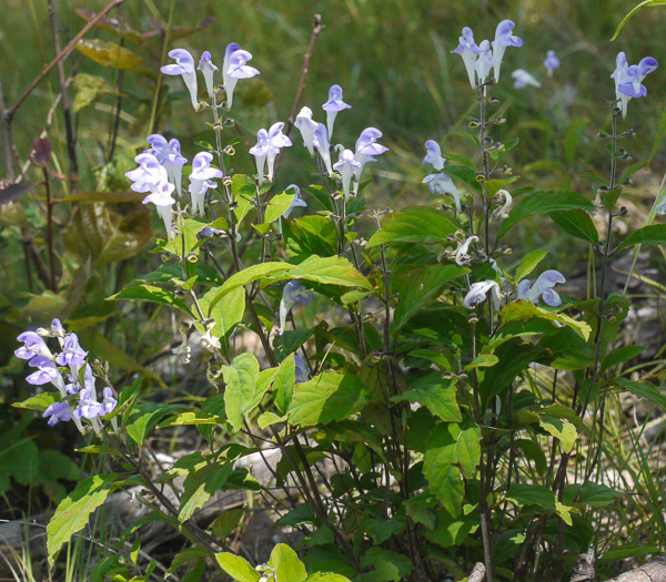image of Scutellaria pseudoserrata, falseteeth skullcap
