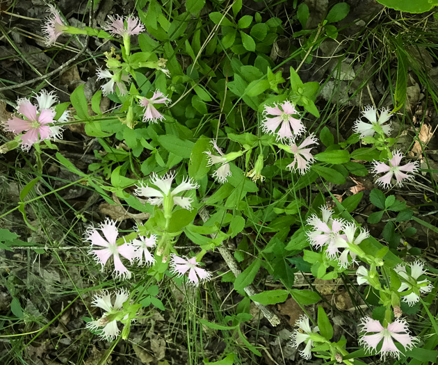 image of Silene catesbaei, Eastern Fringed Campion, Eastern Fringed Catchfly