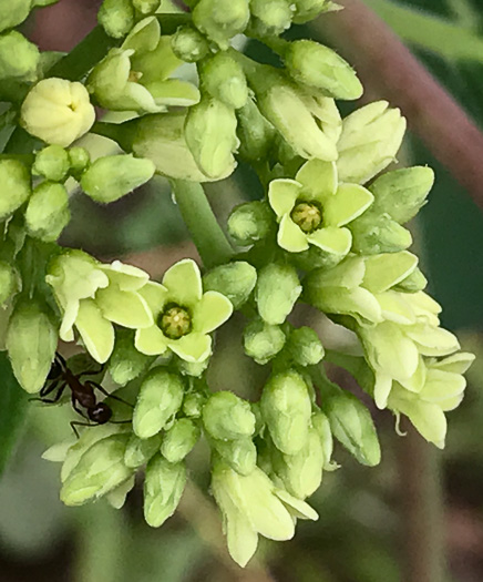 flower of Apocynum cannabinum, Indian-hemp, Hemp Dogbane, Marion's Weed