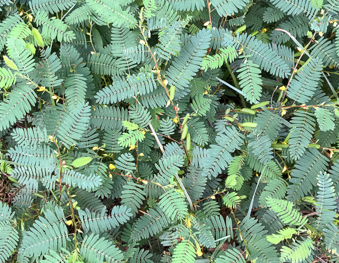 image of Chamaecrista nictitans var. nictitans, Common Sensitive-plant, Sensitive Partridge Pea