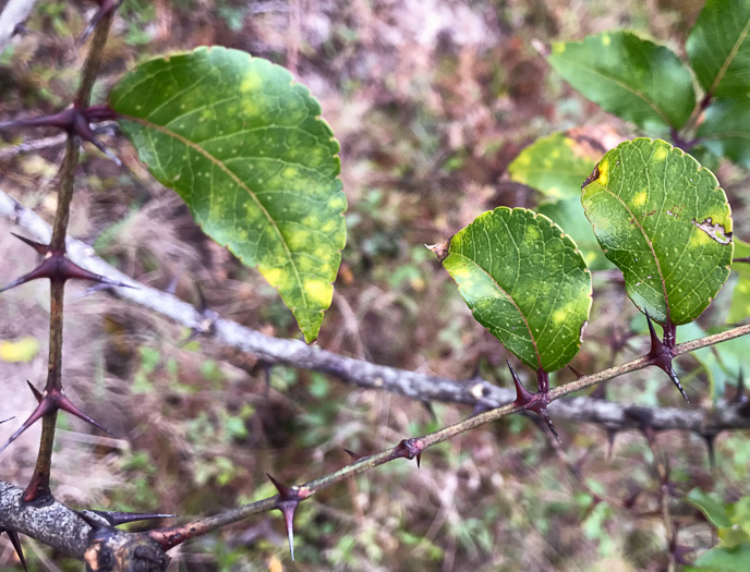 crenate: Zanthoxylum clava-herculis, Toothache Tree, Hercules-club, Sea-ash, Southern Prickly-ash