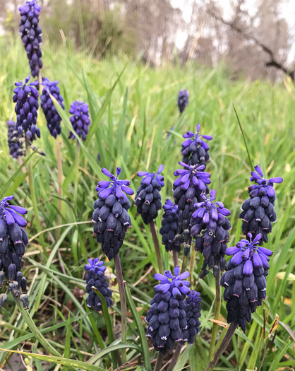 image of Muscari neglectum, Grape-hyacinth, Blue Bottles