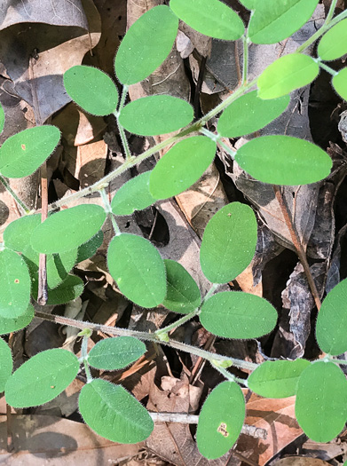 image of Lespedeza procumbens, Downy Trailing Lespedeza, Trailing Bush-clover