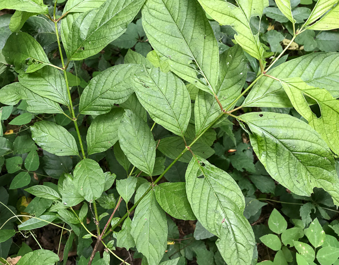 leaf or frond of Cephalanthus occidentalis, Buttonbush