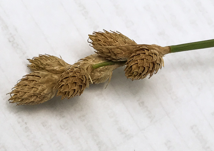 image of Carex tribuloides var. tribuloides, Blunt Broom Sedge