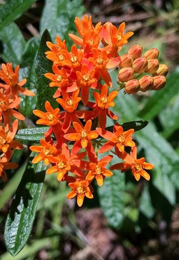 image of Asclepias tuberosa var. tuberosa, Butterfly Milkweed, Common Butterflyweed, Pleurisy Root, Wind Root