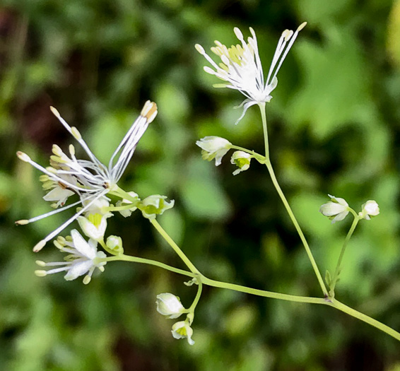 image of Thalictrum hepaticum, Appalachian Tall Meadow-rue