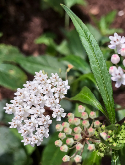 image of Asclepias perennis, Smoothseed Milkweed, Swampforest Milkweed, Swamp Milkweed
