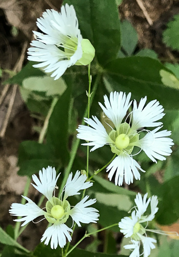 flower of Silene stellata, Starry Campion, Widow's-frill