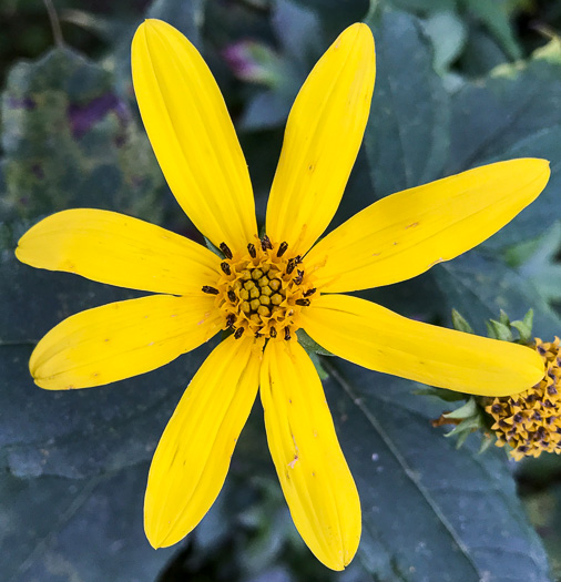 anther: Helianthus strumosus, Roughleaf Sunflower, Paleleaf Woodland Sunflower, Paleleaf Sunflower