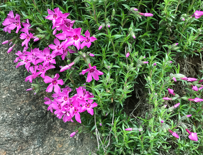 "image of Phlox subulata, Moss Phlox, Mountain-pink, ""Thrift"""