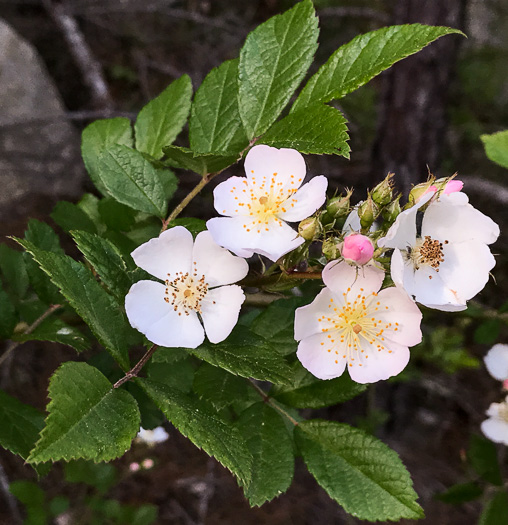 flower of Rosa multiflora, Multiflora Rose