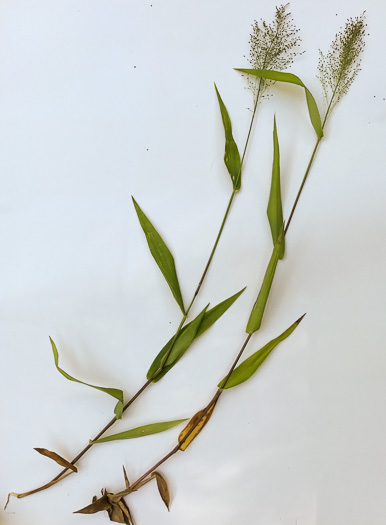 image of Dichanthelium polyanthes, Many-flowered Witchgrass, Small-fruited Witchgrass, Roundseed Witchgrass