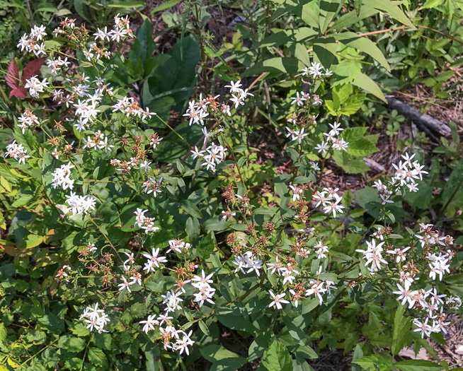 image of Sericocarpus asteroides, Toothed Whitetop Aster
