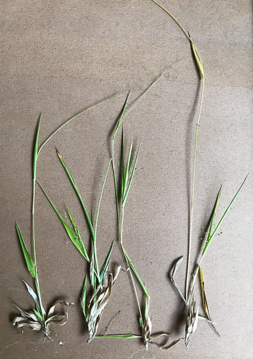 image of Dichanthelium acuminatum var. fasciculatum, Slender-stemmed Witchgrass, Western Woolly Witchgrass