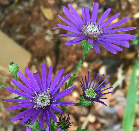 image of Symphyotrichum georgianum, Georgia Aster