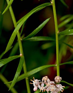 image of Asparagus aethiopicus, Sprenger's Asparagus-fern, Emerald-fern