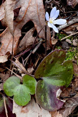 picture of Hepatica americana, image of Anemone americana