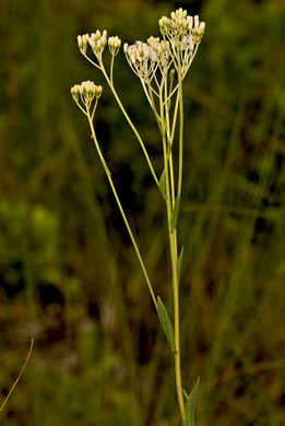 image of Arnoglossum ovatum var. lanceolatum, Savanna Indian Plantain