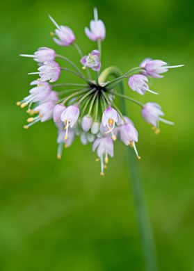 image of Allium cernuum, Nodding Onion, Nodding Wild Onion