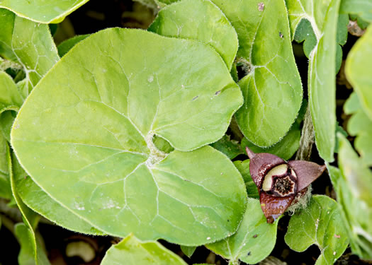 image of Asarum canadense, Common Wild Ginger