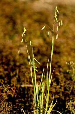 image of Avena sativa, Domestic Oats